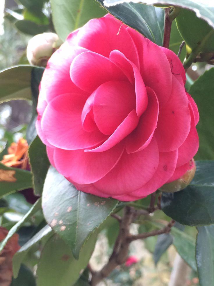 裏庭に咲く早春の椿 カメリア  椿  ツバキ  つばき  Camellia http://blog.livedoor.jp/witchwitch/