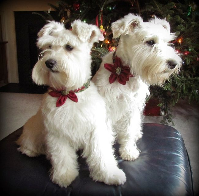 most hypoallergenic dogs populer Link: https://www.sunfrog.com/search/?64708&search=schnauzer&cID=62&schTrmFilter=sales