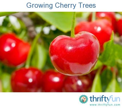 This is a guide about growing cherry trees. A cherry tree is a great addition to your yard.  Fresh cherries make great snacks and can be frozen for use throughout the year.