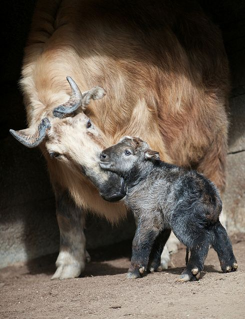 Takin baby, photo taken less than 90 minutes after birth, San Diego Zoo