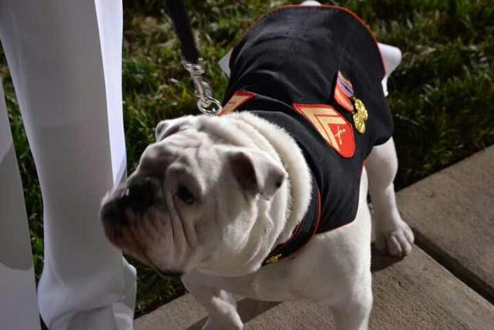 Dress Blues Bulldog Usmc Bulldogs Pinterest Best