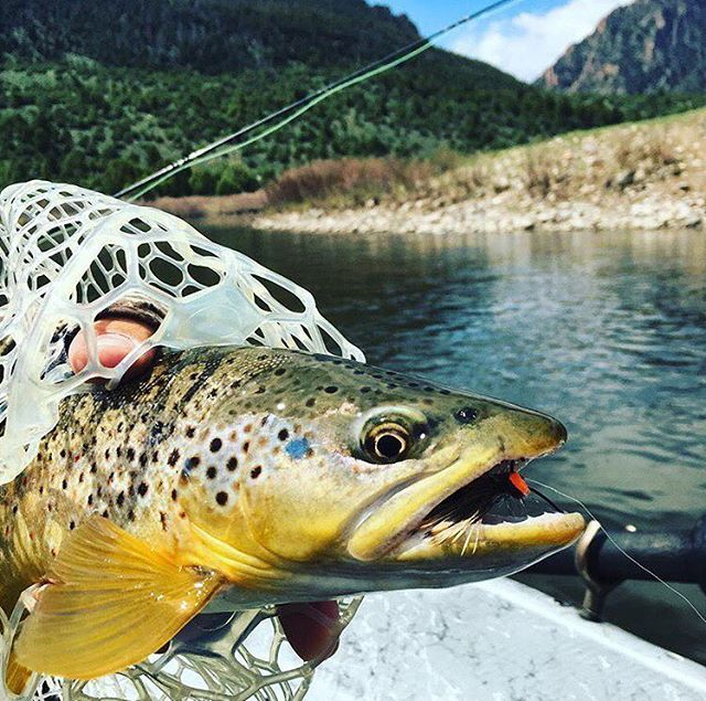 The Colorado River brown trout are hungry!     Book your summer fly fishing adventure with us today.