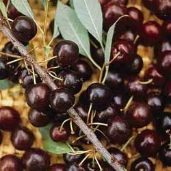 Hansen's Bush Cherry  bsolutely loaded with purplish-black fruit in July. Grows 4-5 ft. tall and bears at an early age. For best yield, plant two or more. Zones 3-8.