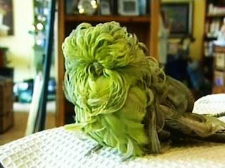 """parakeet (parrot) It is a RARE MUTANT parakeet called a""""half sider ..."""