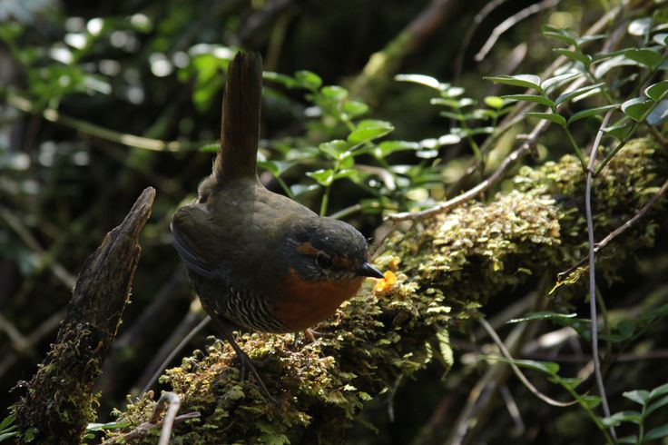 Chucao (Scelorchilus rubecula) is an endemic species that can be found all along Patagonia. Small in size, is easily spotted (not shy at all) and its incredibly distinctive and loud song echoes across the Valdivian Temperate Rainforest.