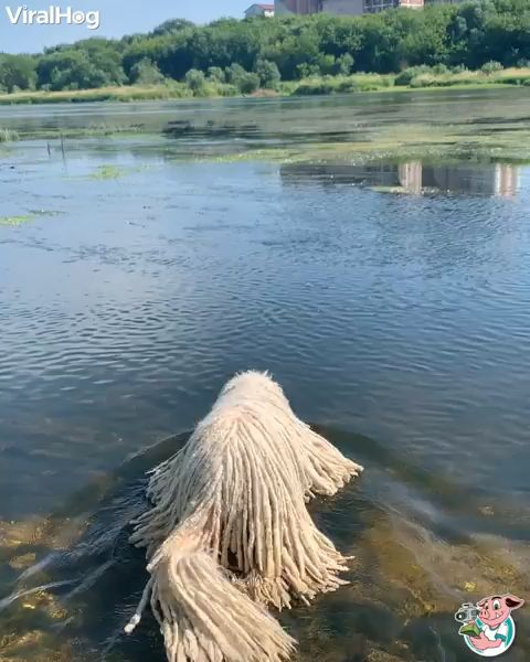 I did not know mops may swim! 😂😂😂