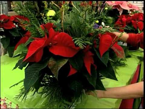 ▶ 7: How to Dress up your Poinsettia - YouTube ....what a beautiful gift for your home or for friends and with little effort.....