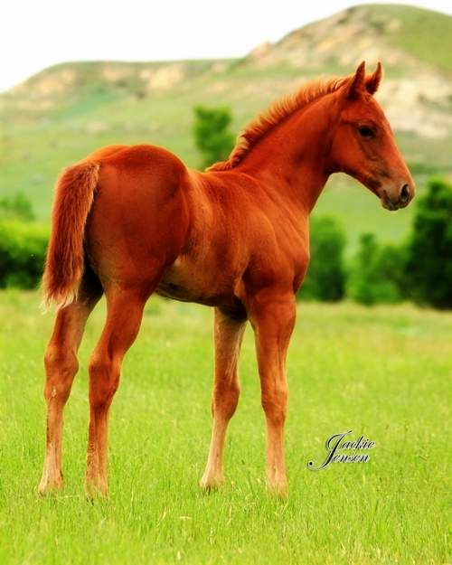 18 best genetics images on pinterest life science physical lot 24 jeff and kelly gorrell ib streakin famous 2013 red roan stallion this colt is loaded with talent pedigree and very well balanced ccuart Image collections