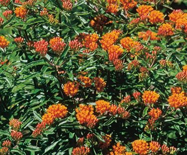 """Butterfly Weed  12-30"""""""