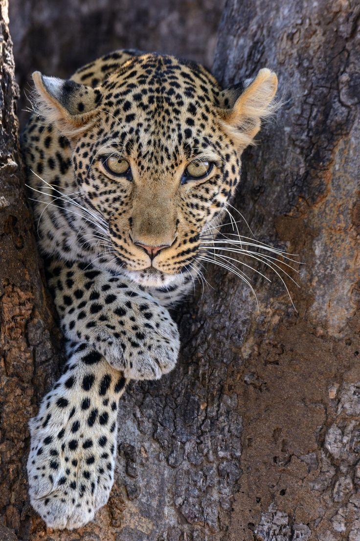 relaxed African leopard (Panthera pardus pardus) -. Ruaha National Park. Tanzania.