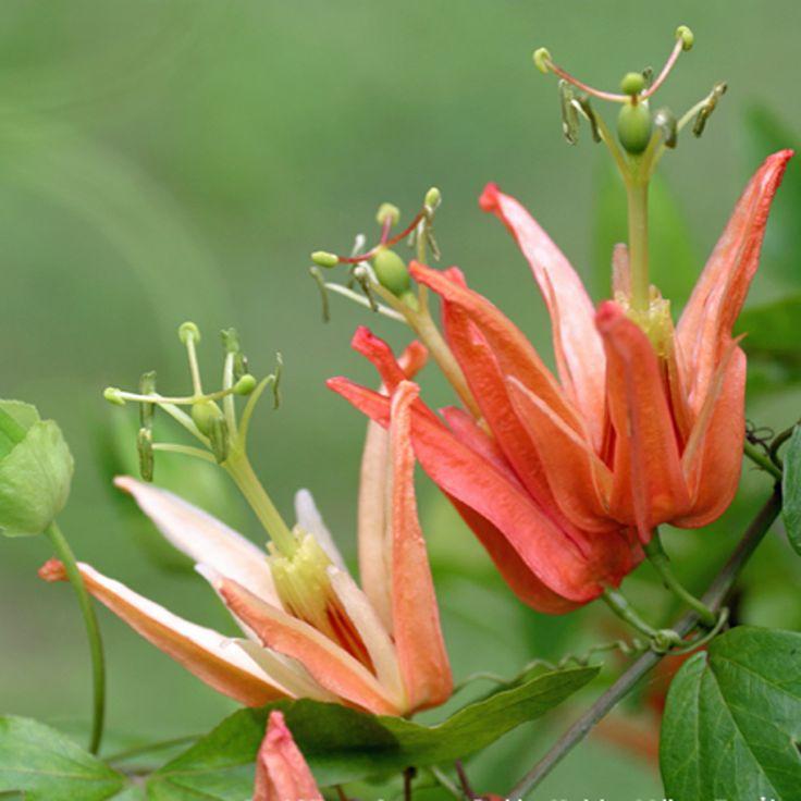 Orange Passion Flower