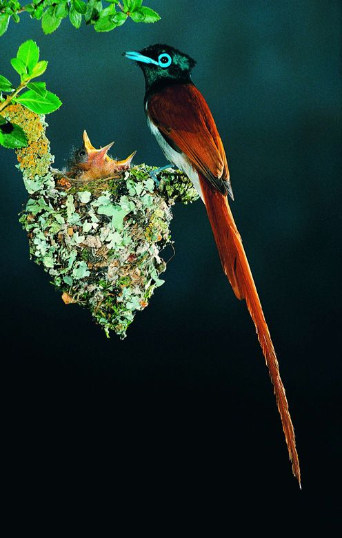 *+*Mystickal Faerie Folke*+*... Paradisaeidae, a Species of Birds of Paradise... By Artist Unknown...