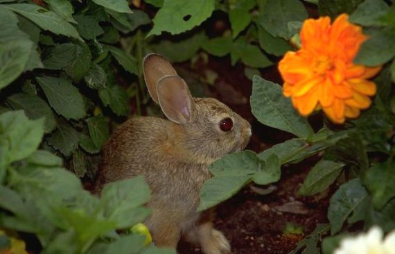 248 best images about animal bug pest weed control on pinterest gardens garden pests and ants for How to deter rabbits from garden