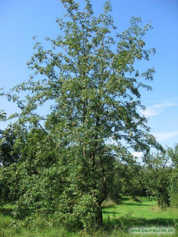 Speierling / Sorbus domestica / Habitus Familie: Rosaceae