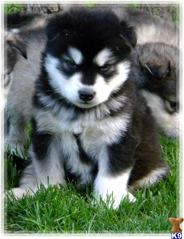 Alaskan Malamutes--Love their face markings <3