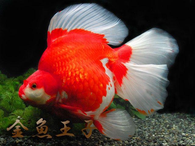 ryukin goldfish   Amazing Ryukin {tae}