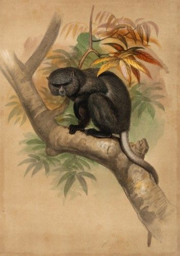 Joseph Wolf (1820-1899). The Stanger's Monkey (Cercopithecus stangerii). (Lithography by John Smit (1836-1929) after drawings by Joseph Wolf.)