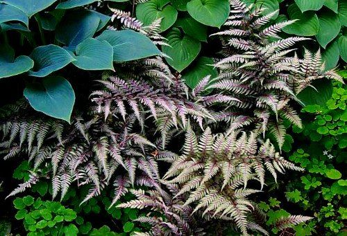 japanese painted fern regal red - Google Search