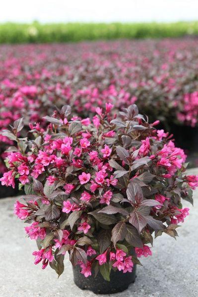 Лиственные кустарники Вейгела Minor Black по разумной цене - Зеленый сад