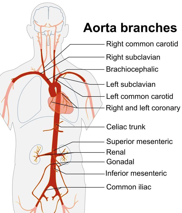 118 best Cardiac Surgery images on Pinterest | Arteries anatomy ...