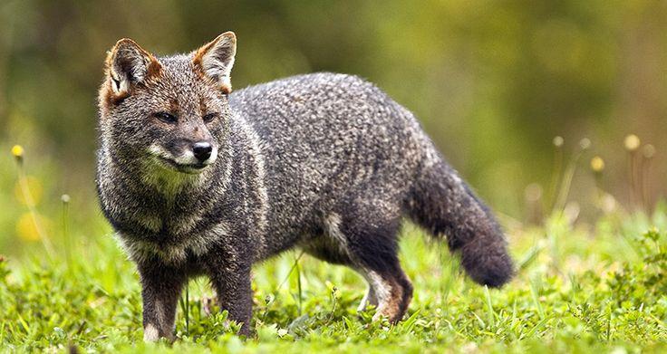 Zorro de Chiloé, zorro de Darwin - Lycalopex fulvipes