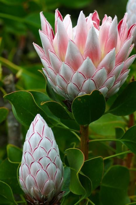 Pastel Pink Protea - So Pretty ! Beautiful Flowers - www.a-women.com    Flowers Flowers  Flowers
