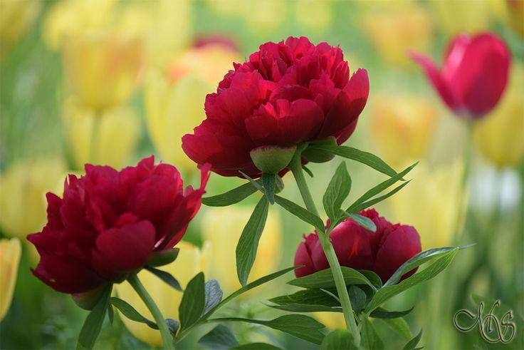 Bujori – Trandafirii Rusaliilor