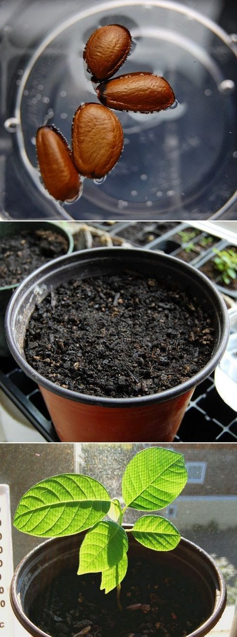 "Soaking seeds before planting is an ""old time"" gardener's trick that many new gardeners are not aware of. When you soak seeds before planting, you can significantly decrease the amount of time it takes for a seed to germinate."