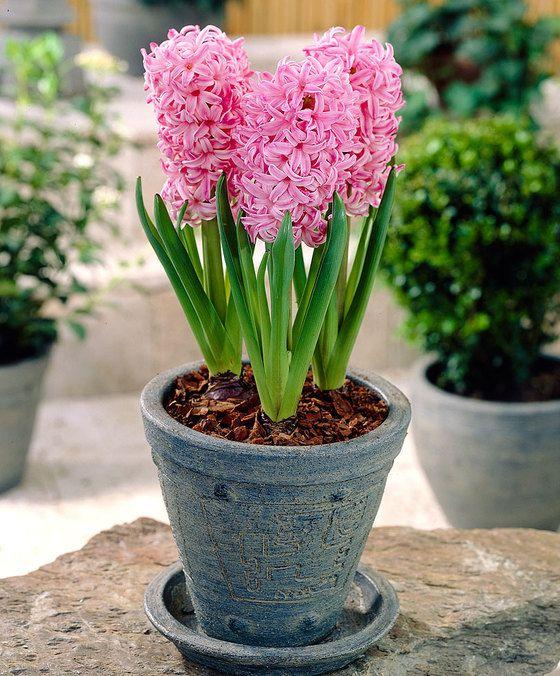 Jacinthe pot 'Pink Pearl'