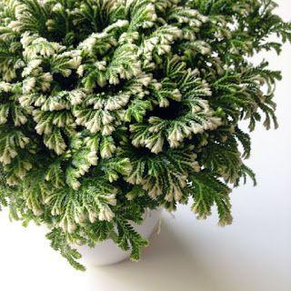 The Rainforest Garden: How to Care for Frosty Ferns - Frosty Fern - Selaginella kraussiana