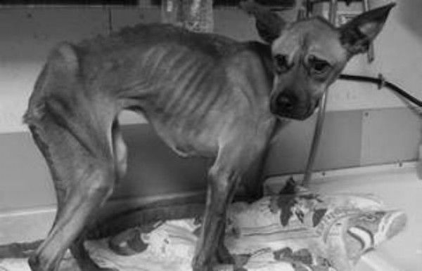 Justice For Brody! Mistreated And Starved By His Owner! | PetitionHub.org PLEASE SIGN PLEASE SHARE PLEASE BE THE VOICE OF THE VOICELESS ANIMALS! PLEASE CONSIDER THE SUFFERING WE ALLOW OURSELVES NOT TO SEE!