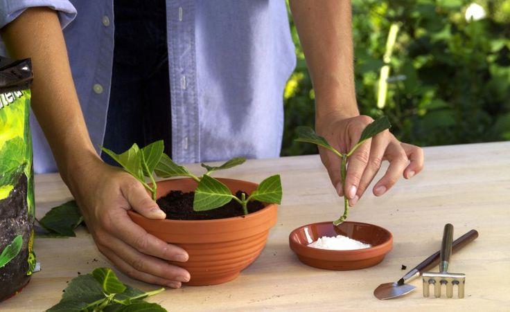 die 25 besten ideen zu hortensien garten auf pinterest hortensien beschneiden hortensien und. Black Bedroom Furniture Sets. Home Design Ideas
