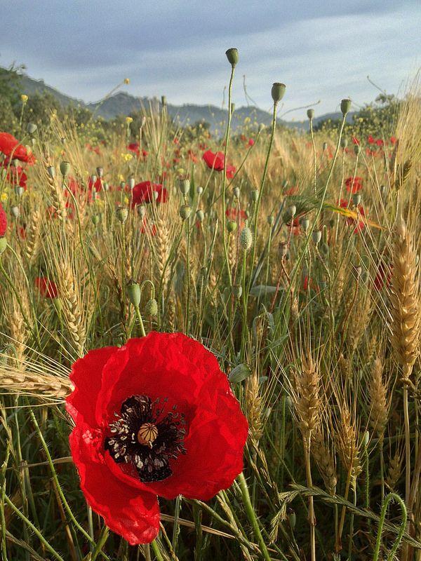 poppies in the wheat field, Karagözler, Muğla, Turkey
