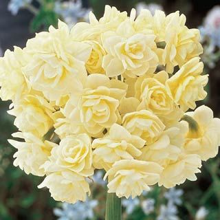 Summer Cheer Daffodil  Fragrant double flowers of ivory-white with a trace of yellow. Easily complements other summer-blooming perennials such as bellflowers, hardy geraniums or lavender, to name a few.