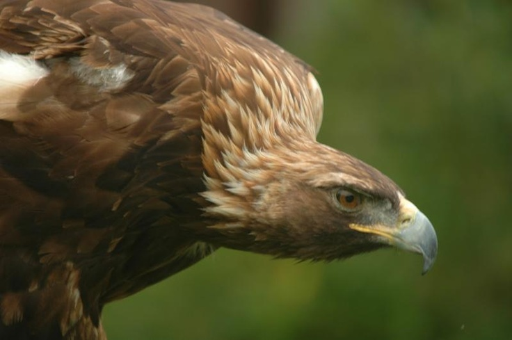 "Golden Eagle ""Steinadler"" Mittenwald, Germany 2012"