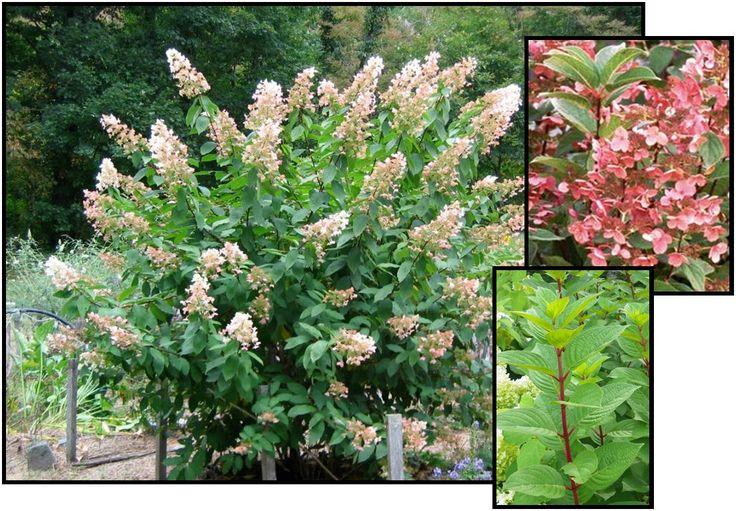 8 best garden shrub spirea 39 tor 39 birch leaf spirea images. Black Bedroom Furniture Sets. Home Design Ideas