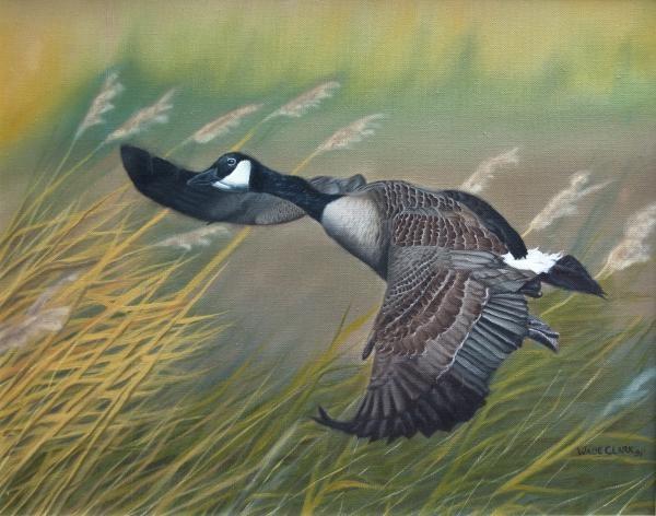 Marsh Goose- Canada Goose in fight Hillmans Marsh.