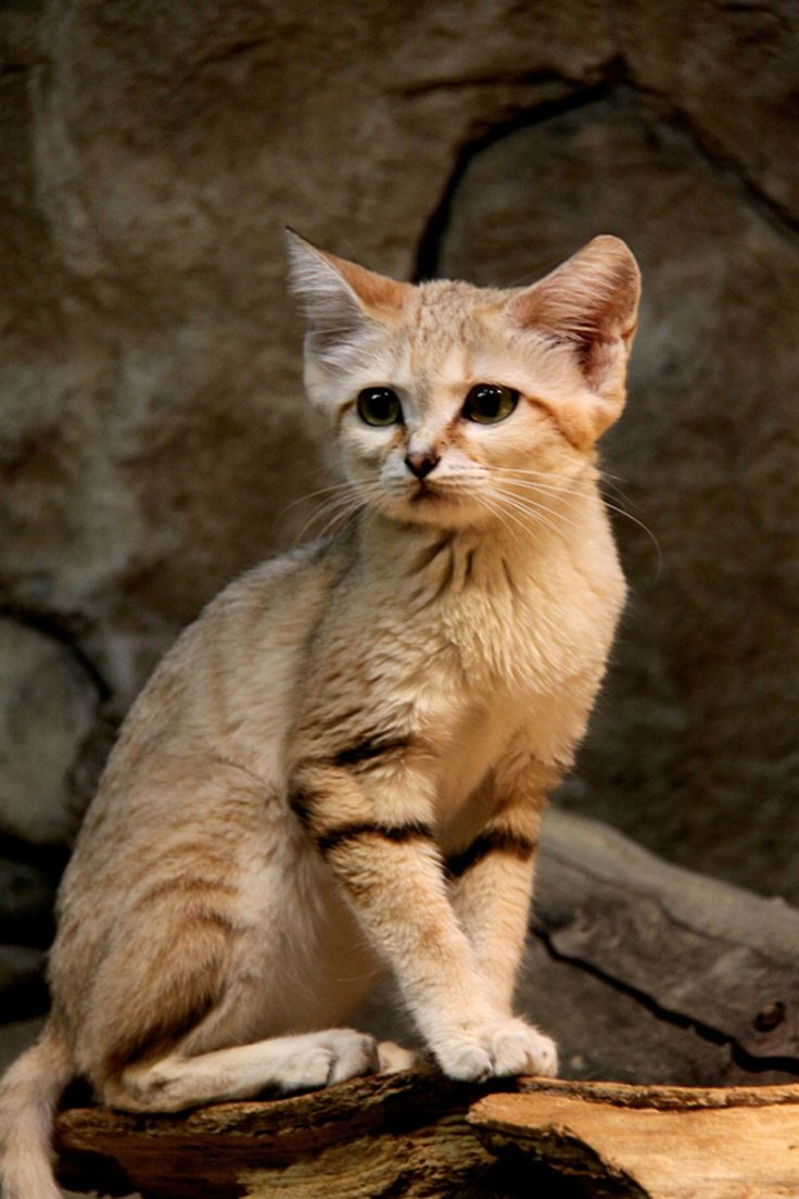 """Beautiful!  The sand cat (Felis margarita), also referred to as the sand dune cat, is a small cat distributed over African and Asian deserts. (The name """"desert cat"""" is reserved for Felis silvestris lybica, the African wildcat.) The sand cat lives in arid areas that are too hot and dry even for the African Wildcat: the Sahara, the Arabian Desert, and the deserts of Iran and Pakistan."""