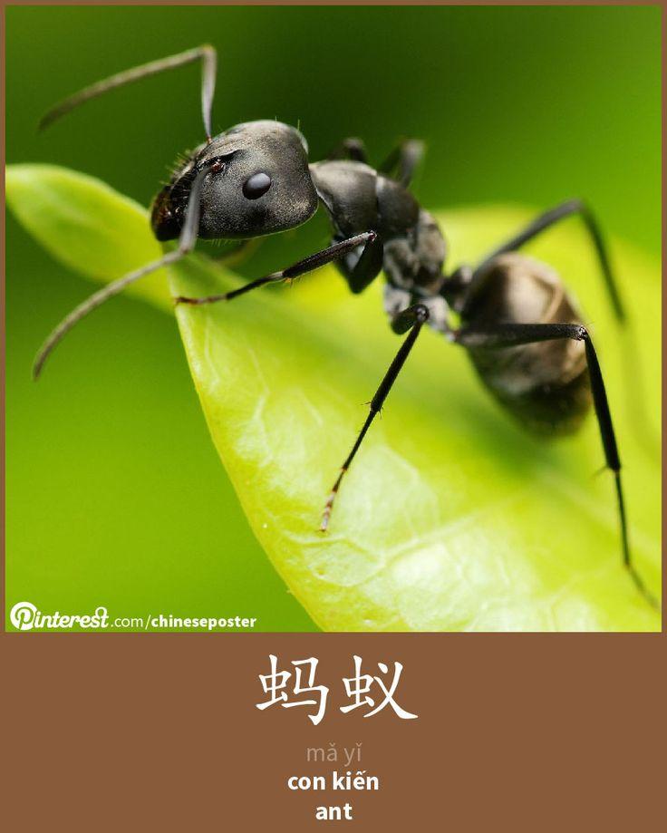 蚂蚁 - mǎyǐ - con kiến - ant