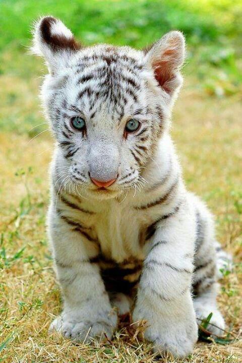 Baby Tiger. So cute!!!!