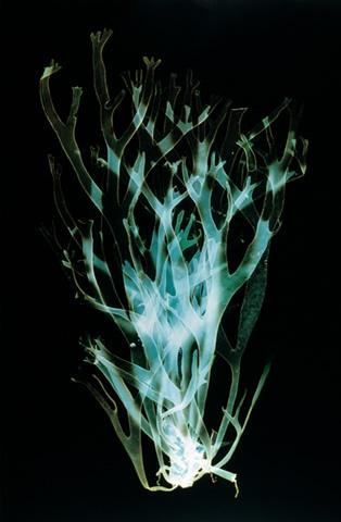 stephanie valentin, fathom 3, 2004,  from fathom,  Type C photogram