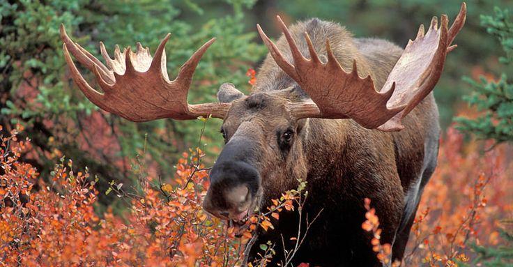 Image result for alaskan moose