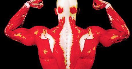 3 Exercices pour muscler son dos  La musculation du dos peut se faire avec des haltères, une barre de traction, un ballon de gym, des élastiques ou sans appareil.  Une traction s'exécute avec un rameur ou une barre d'appartement; le gainage dorsal est faisable au sol sans matériel; le rowing est un exercice de musculation travaille l'ensemble des muscles du dos, plutôt en épaisseur.