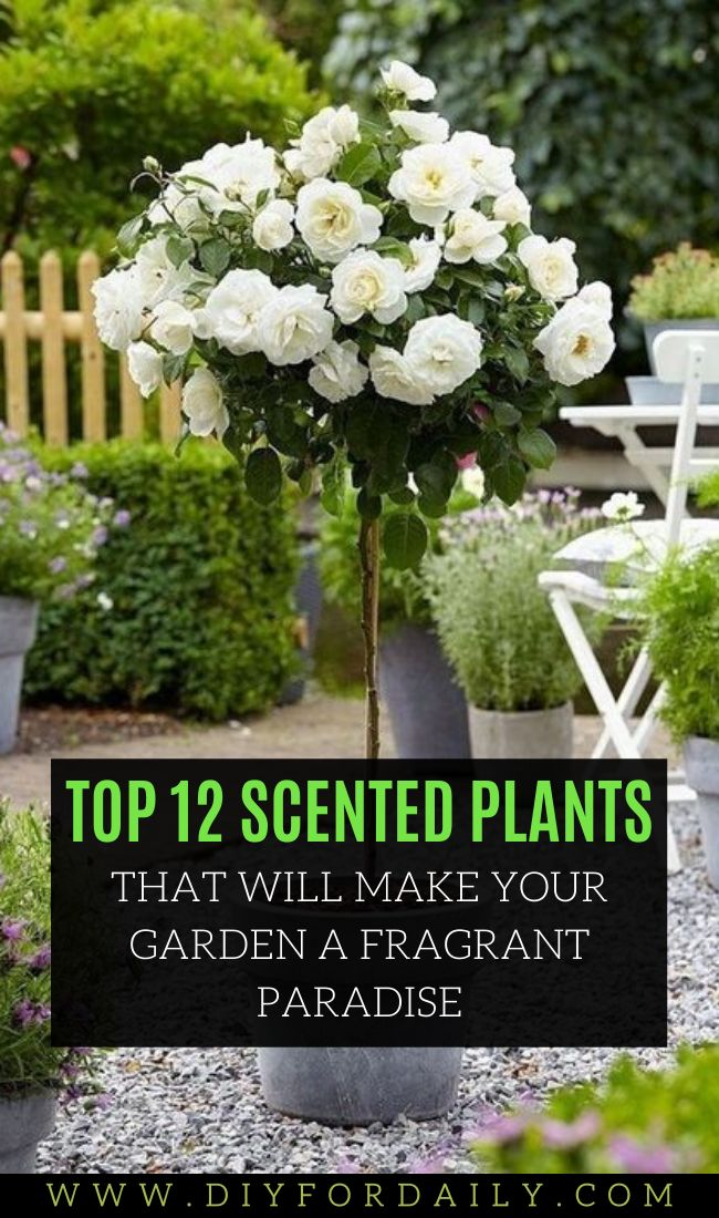 12 Scented Plants That will Make Your Garden A Fragrant Paradise  – Home and Garden