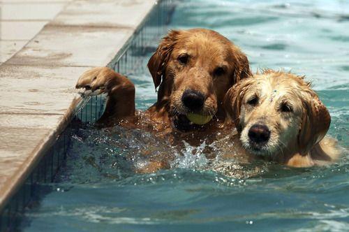 best friends: Pools Time, Golden Rules, Dogs, Pools Parties, Furries Friends, Kiddie Pools, Swimming Team, Happy Puppies, Golden Retriever