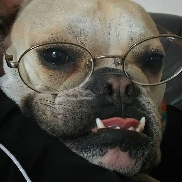 深夜になるとこんな顔で👓 アメリカのサスペンス見ながら 毎晩寝落ちする母しゃん😪 その足元を常に暖めるアタシ😌 母しゃんの幸せな眠りは アタシの深夜労働のお陰やで 分かってるんかいな? * Every day, my Mom wears these #glasses to watch American crime suspense drama in the middle of the night🌃 * #watchingtv  #frenchbulldog #bulldog #dog #bully #buhi #pet #frenchiesofinstagram #bulldogsofinstagram #dogstagram #instadog #instafrenchie #instabully #instapet #フレンチブルドッグ #フレブル #ブルドッグ #ぶさかわ #愛犬 #しゃくれ #ブヒ #ミックス犬 #犬バカ部 #犬のいる暮らし #眼鏡 かけたら私にソックリでビックリ