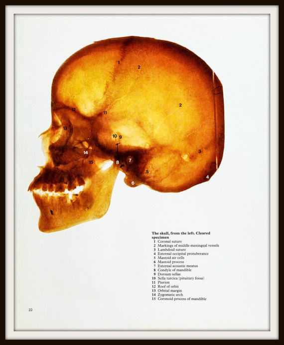 from the 1977 publication Color Atlas of human Anatomy by M.H. McMinn and T. Hutchings  Photographic prints of human skull showing skeleton, bones and teeth.