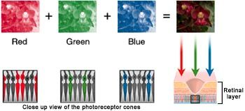 Figure 1. Component colors are detected by cone cells in the retina All colors in the visible spectrum can be represented as a combination o...