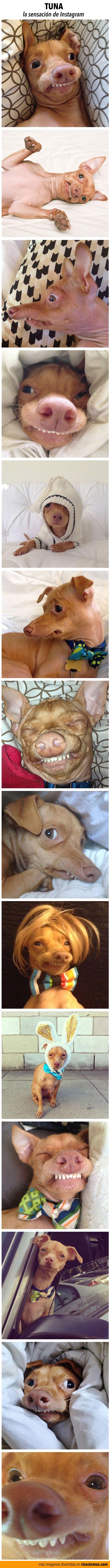 Tuna es un perro de la raza Chiweeni que tiene una particular disfunción en su mandíbula inferior que hace que tenga un aspecto simpático y gracioso. Su dueña, Courtney Dasher, lo ha hecho famoso gracias a su cuenta de Instagram.