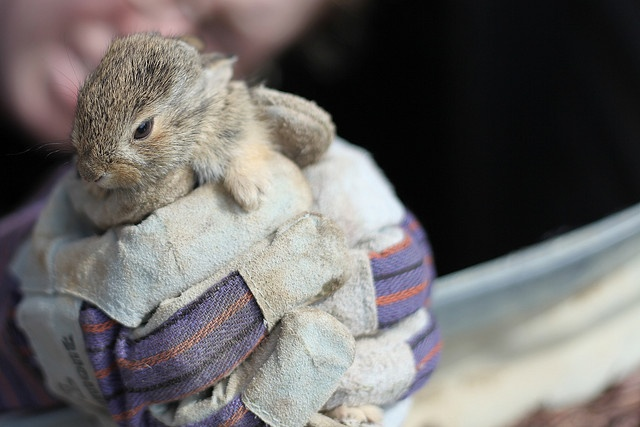 Baby Bunny Rescue #2 by wsimmons, via FlickrBaby Bunnies, Bunnies Rescue, 24 Baby
